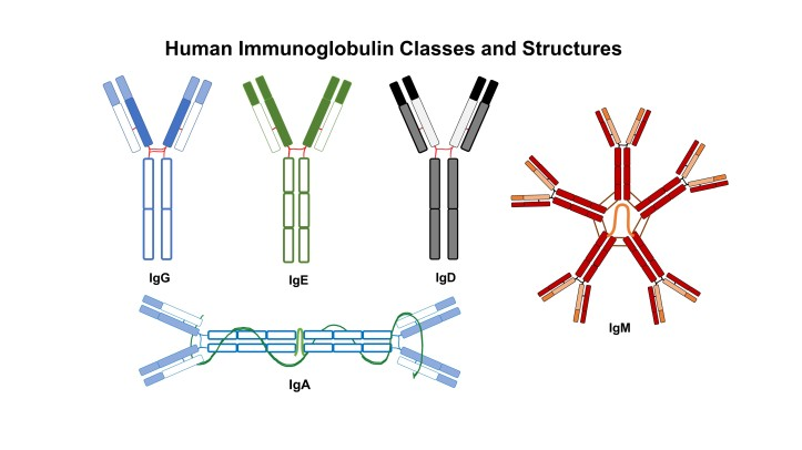Types of of immunoglobulins