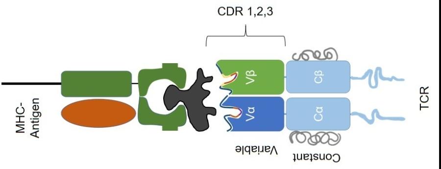 TCR recombo1