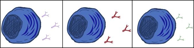 B cells2
